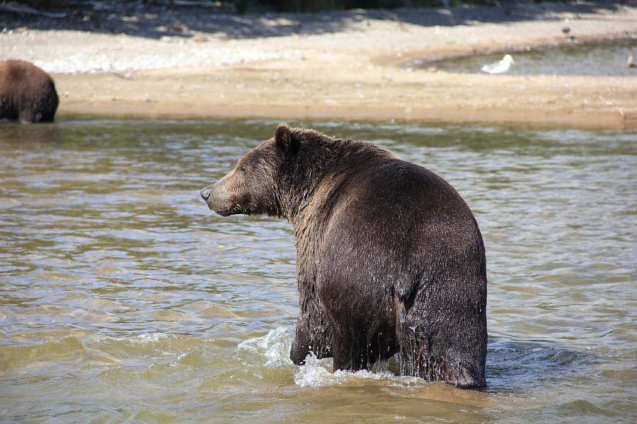 Бурый медведь, медведи, Камчатка, Кроноцкий заповедник, фотографии, путешествия, Аксанов Нияз, kukmor, россия, of IMG_6329
