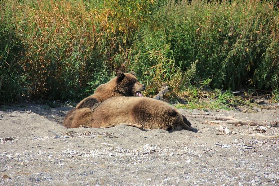 Бурый медведь, медведи, Камчатка, Кроноцкий заповедник, фотографии, путешествия, Аксанов Нияз, kukmor, россия, of IMG_6349