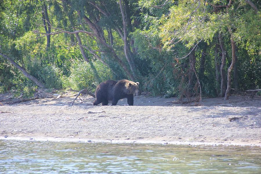 Бурый медведь, медведи, Камчатка, Кроноцкий заповедник, фотографии, путешествия, Аксанов Нияз, kukmor, россия, of IMG_6350