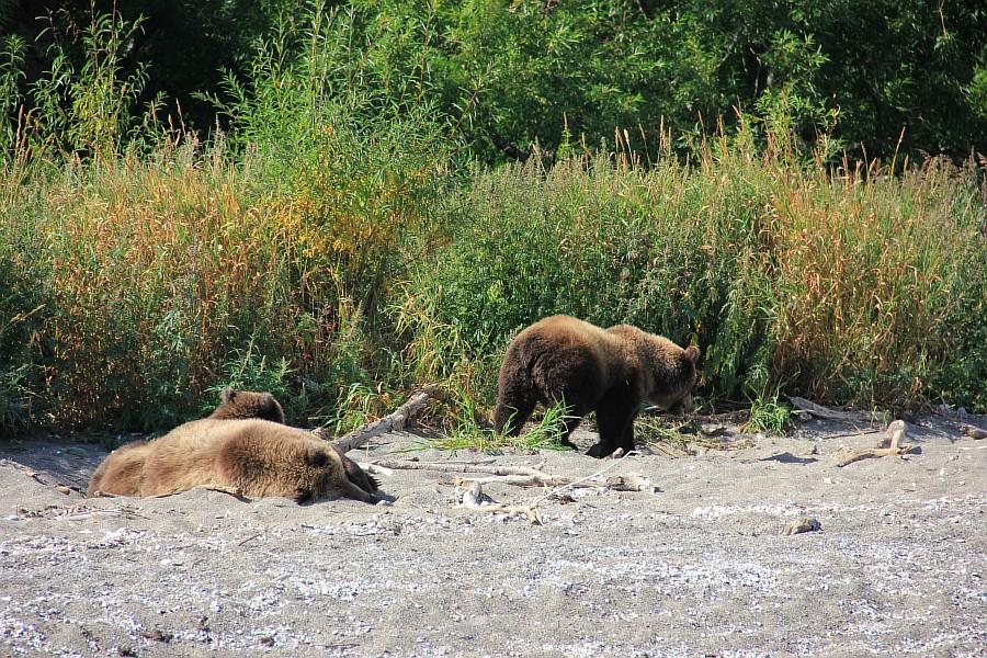 Бурый медведь, медведи, Камчатка, Кроноцкий заповедник, фотографии, путешествия, Аксанов Нияз, kukmor, россия, of IMG_6363