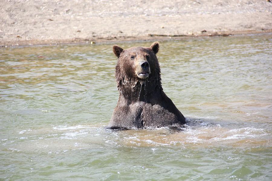 Камчатка, медведи, Курильское озеро, путешествия, природа, Аксанов Нияз, фотографии, Россия, животные, озеро, жж, of IMG_6307