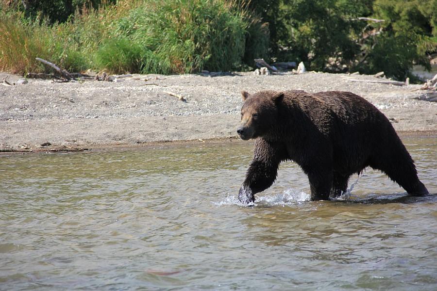 Камчатка, медведи, Курильское озеро, путешествия, природа, Аксанов Нияз, фотографии, Россия, животные, озеро, жж, of IMG_6308