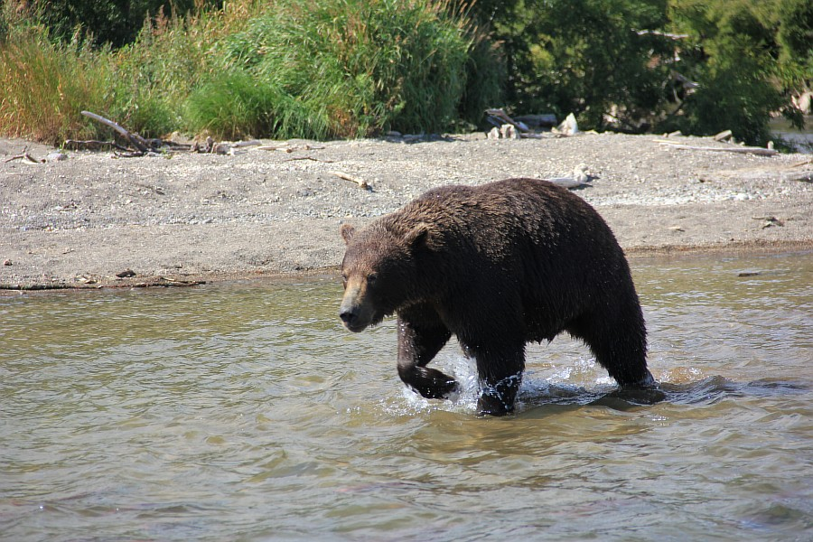 Камчатка, медведи, Курильское озеро, путешествия, природа, Аксанов Нияз, фотографии, Россия, животные, озеро, жж, of IMG_6311