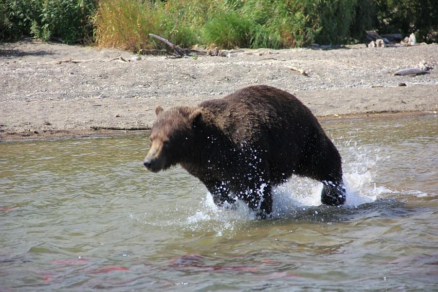 Камчатка, медведи, Курильское озеро, путешествия, природа, Аксанов Нияз, фотографии, Россия, животные, озеро, жж, of IMG_6313
