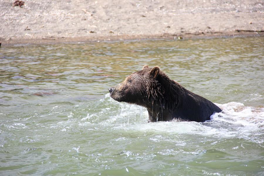 Камчатка, медведи, Курильское озеро, путешествия, природа, Аксанов Нияз, фотографии, Россия, животные, озеро, жж, of IMG_6314