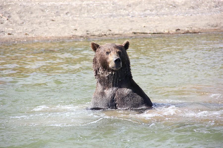 Камчатка, медведи, Курильское озеро, путешествия, природа, Аксанов Нияз, фотографии, Россия, животные, озеро, жж, of IMG_6316