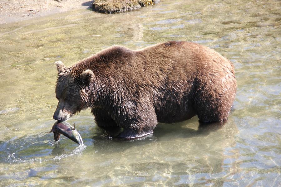 Камчатка, медведи, рыбалка, Кроноцкий заповедник, Аксанов Нияз, фотографии, kukmor, природа, путешествия, Россия, of IMG_6000