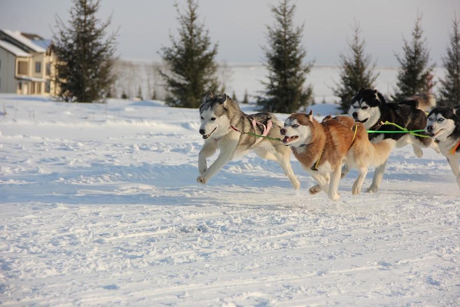 Хаски, Алтайская Зимовка, Россия, фотографии, Аксанов Нияз, kukmor, спорт, природа, of IMG_3081