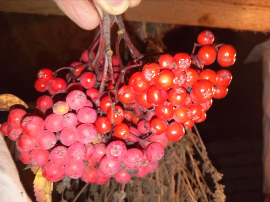 Вчера докопали картошку, а сегодня урожай рябины собрали!