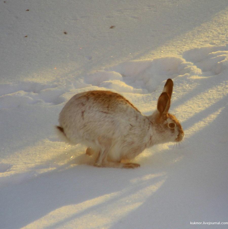 К нам тут в гости, в новый дом, зайцы теперь захаживают.