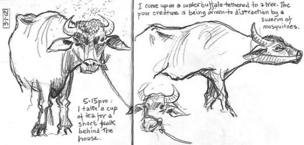 plantation-buffalo