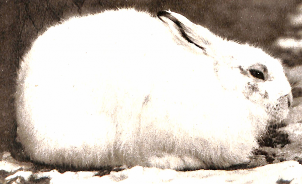 Кролик по-бельгийски - современный рецепт, а также рецепт зайца в сметане начала 20-го века и др: kulinarium