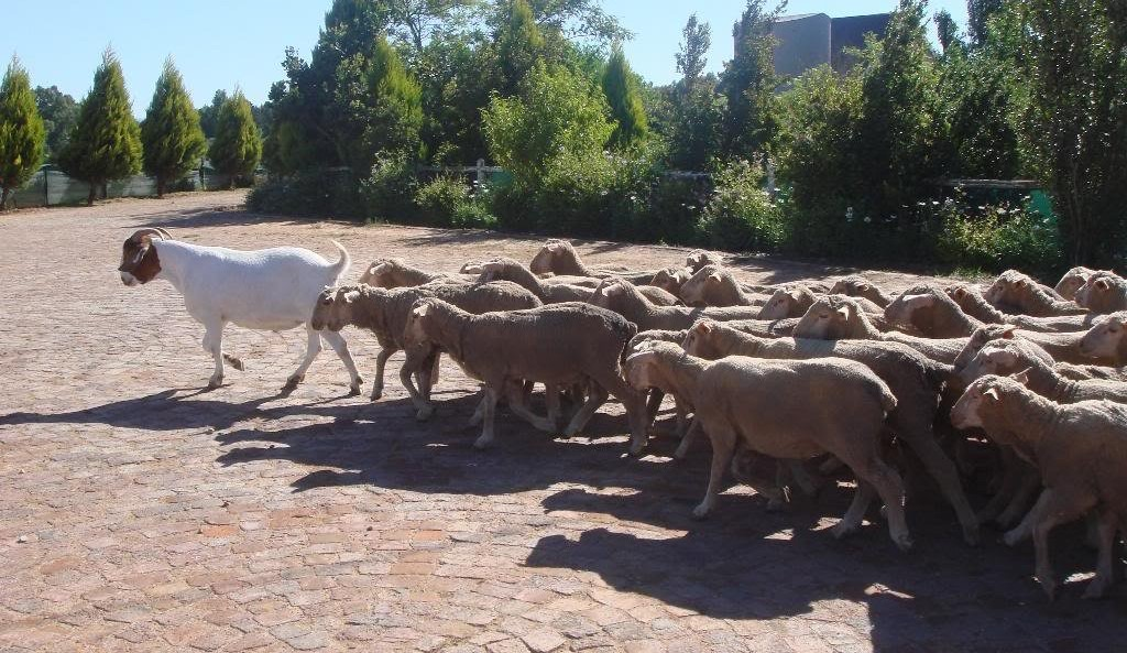 Зачем козлу нужны бараны