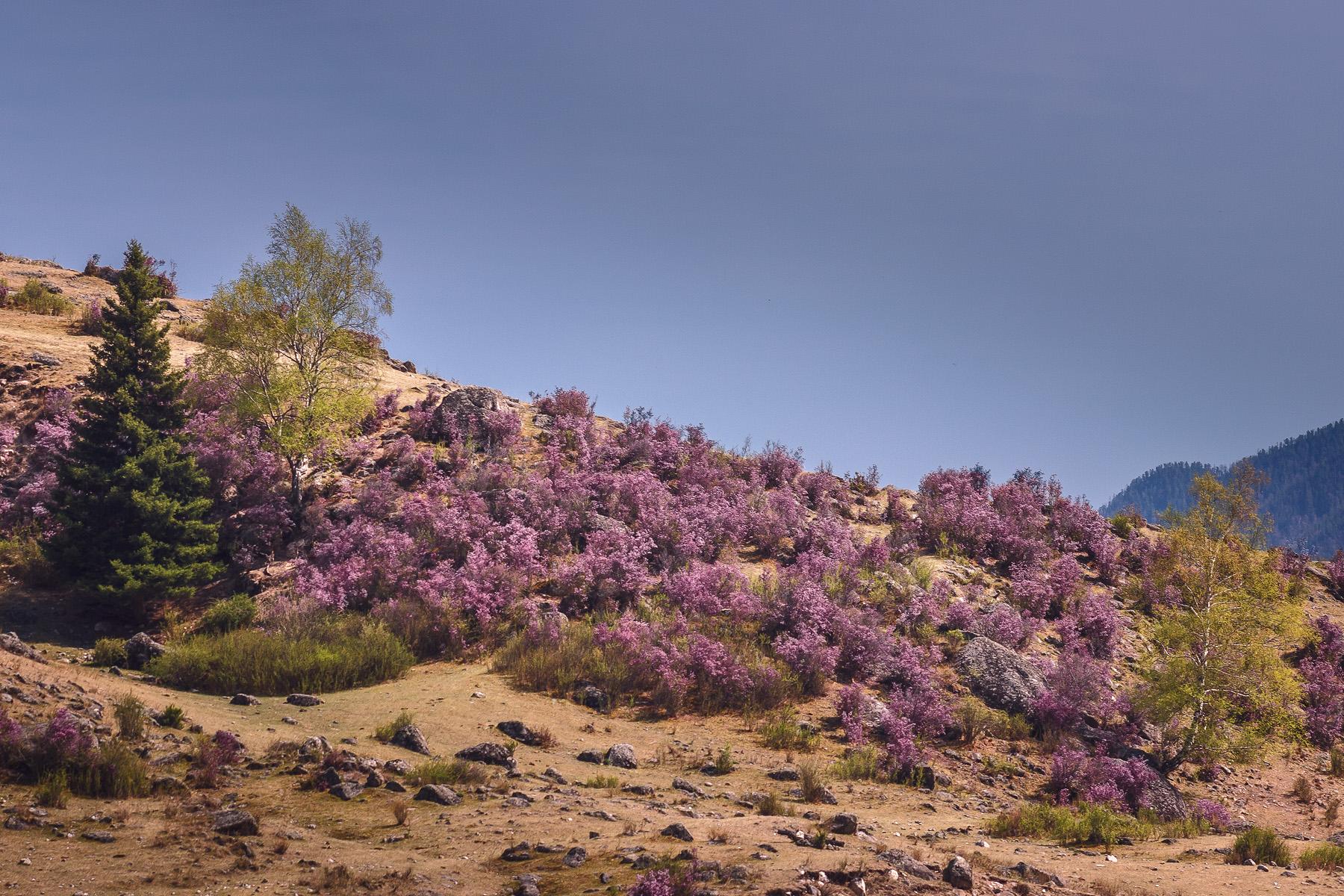 Фотопутешествие. Цветение маральника на Алтае (майские выходные)