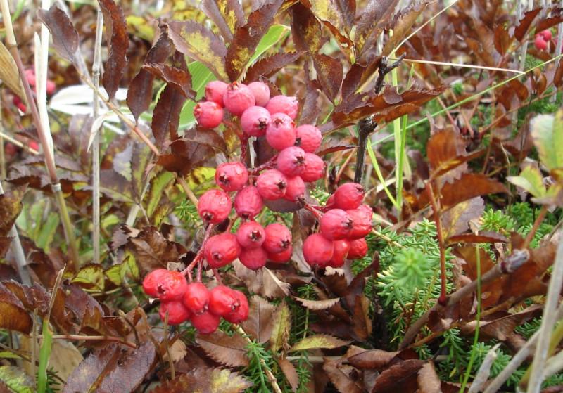 Та самая, не горькая рябина в конце октября - рябина бузинолистная Sorbus sambucifolia. Автор фото: Ирина Неведомская