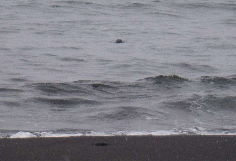 Примерно так выглядит тюлень в воде, если смотреть с берега.
