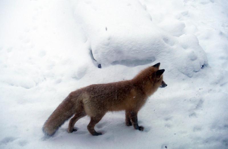 Молодой лис пришёл в гости.
