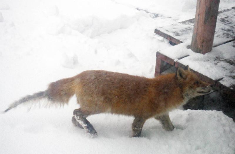 Больная лисица