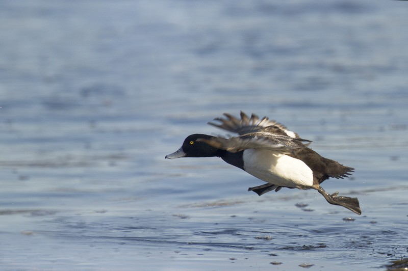 Морская чернеть (Aythya marila) - бегущая по волнам. Автор фото: Пётр Романов.