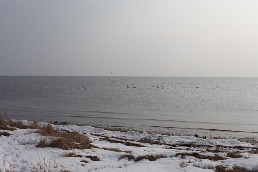 Группа лебедей-кликунов на побережье поселка Головнино