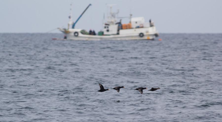 Стая американской синьги пролетает напротив рыболовецкого судна. Пролив Полонского. Южные Курилы.