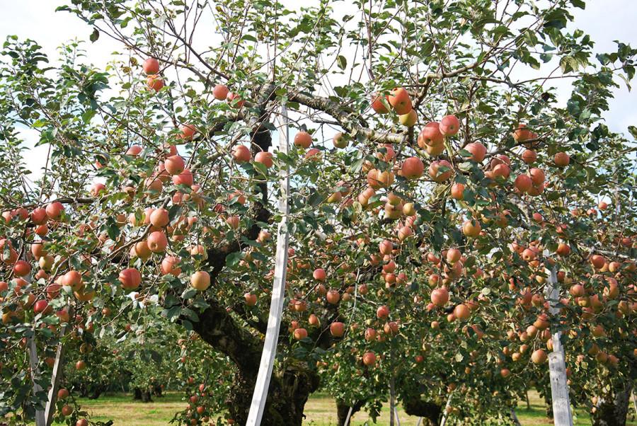 Группа яблоки2СК.jpg