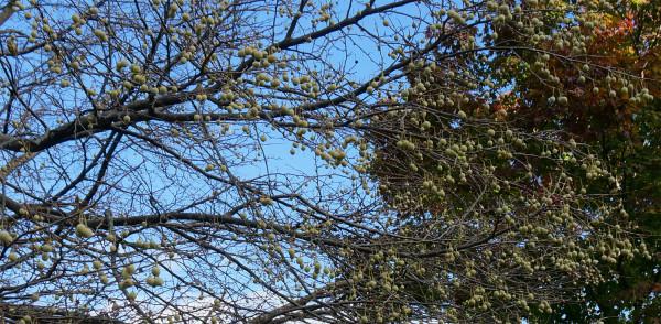 Лес6_Плоды Гинкго.jpg