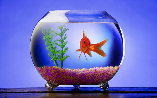 goldfish_2534214b[1]