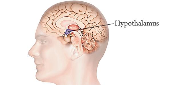 hypothalamus[2]