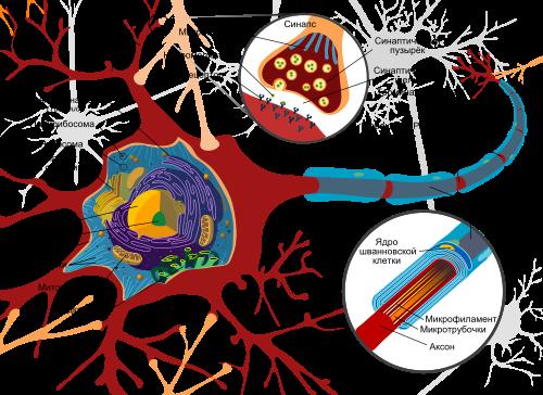 Классическая упрощенная модель нейрона