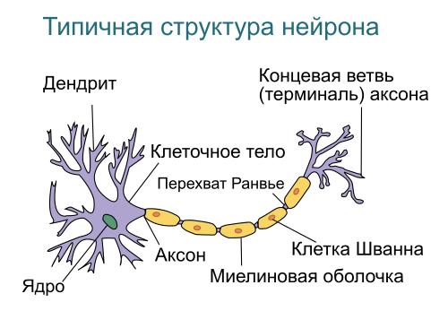 500px-Neuron-rus.svg