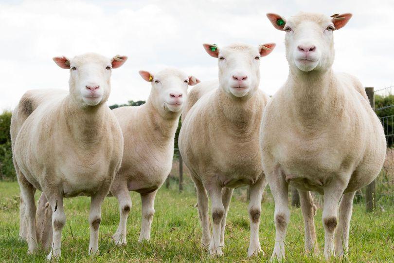 Четыре геномных клона Долли: Дебби, Дениз, Диана и Дейзи