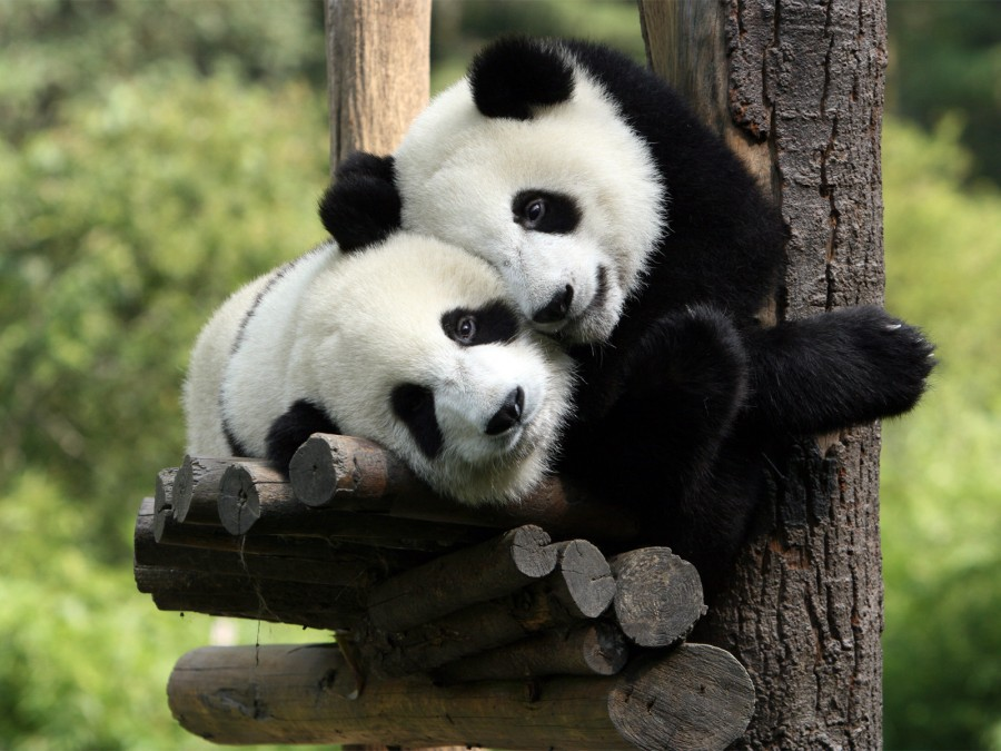 panda+medvedi+zhivotnie+52921614478