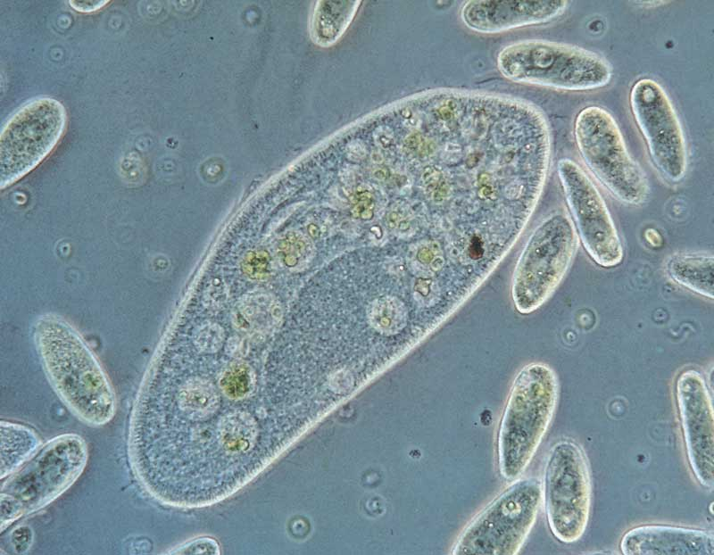 paramecium[1]
