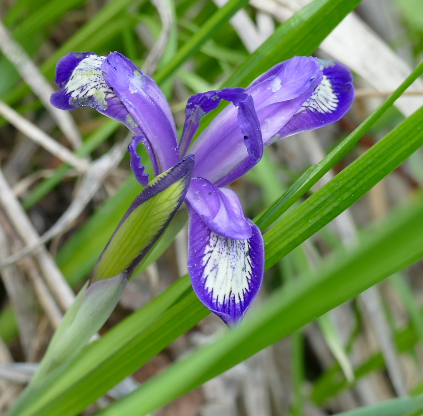 Кукушкины слезки цветок фото