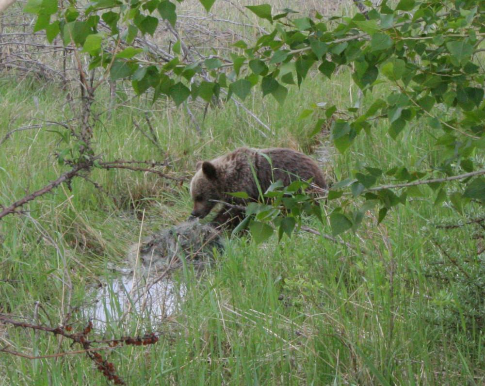 14-Медведь на оз.Иткуль 2007 Фото Е.В. Сонниковой