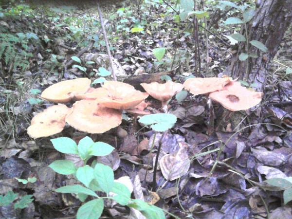 грибы в приморье