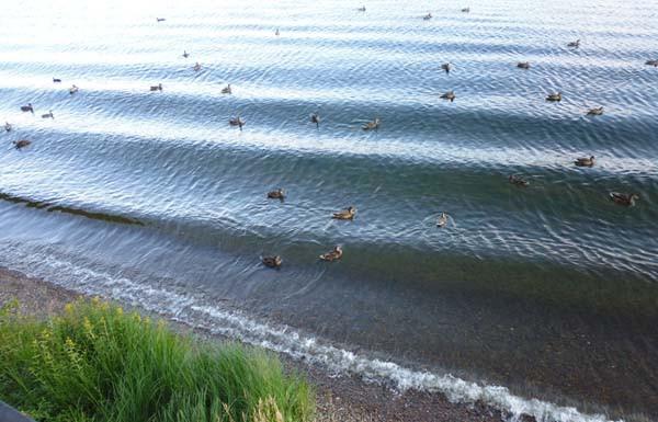 уточки возле берега