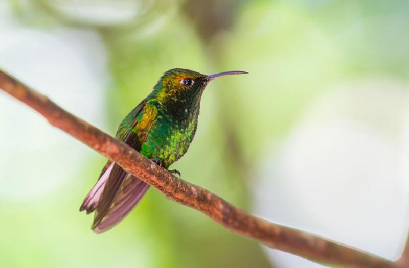 05. И эта колибри — Coppery-headed Emerald