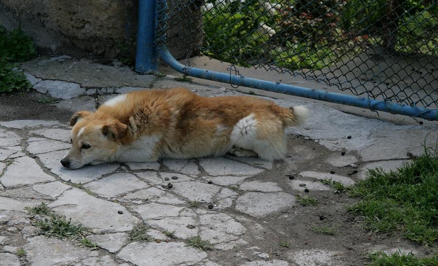 Собака из Крыма