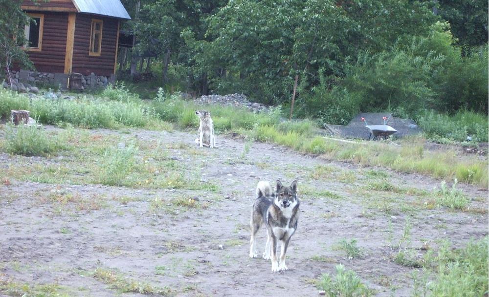 Собаки Камчатки