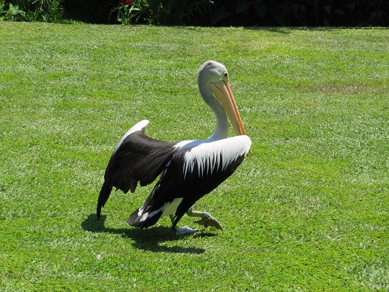 02. По парку болтается большое количество пеликанов-ходят среди людей-попрошайничают.