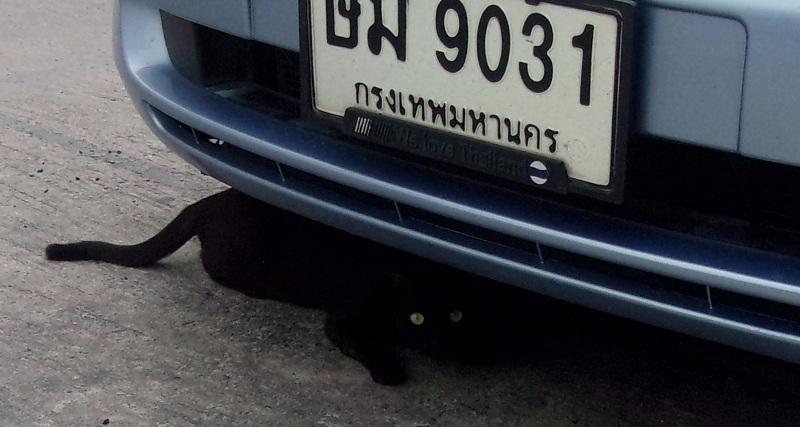 03. Эта красавица тайская. Осторожная. В Таиланде кошкам отрезают кончик хвоста — там гнездится злой дух.