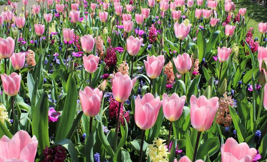 01. Парк цветов Кёкенхоф в Нидерландах работает в этом году с 23 марта по 13 мая.
