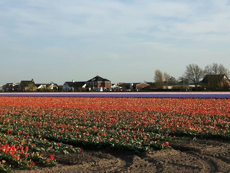 03. Поля гиацинтов и тюльпанов! Аромат потрясающий!