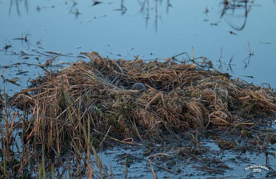 06. Гнезда устраивает прямо на берегу водоема, либо на островке, с удобным подходом.