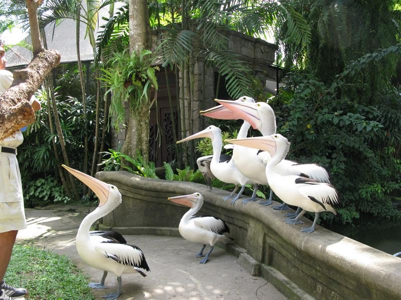 03. Местные пеликаны — просто красавцы, особенно по сравнению с латиноамериканскими.