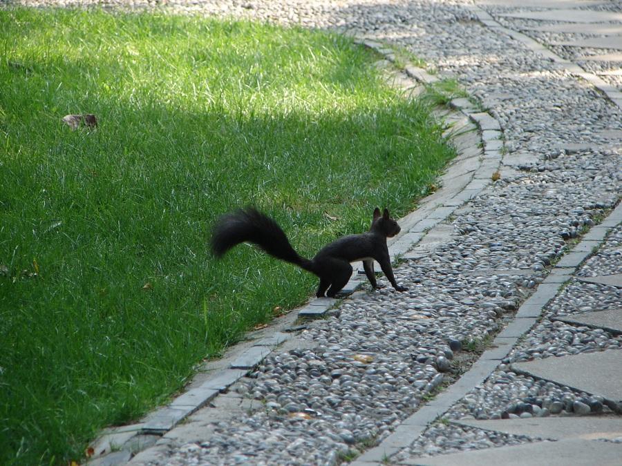03.В парке запретного города бегают вот такие поджарые черные белки. Любопытные и очень шустрые.