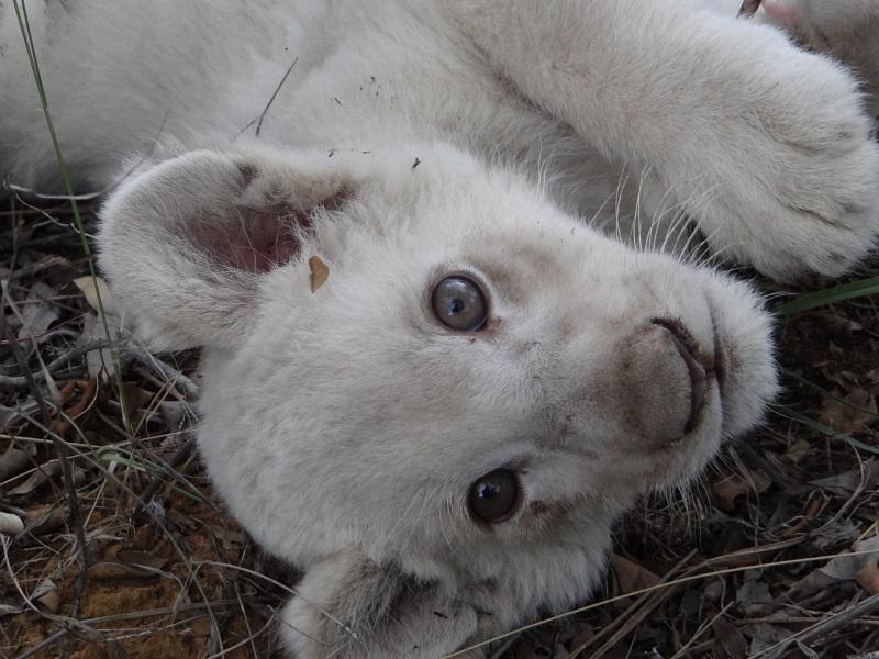 03.С белыми львятами можно играть, ходить на прогулку и кормить их .