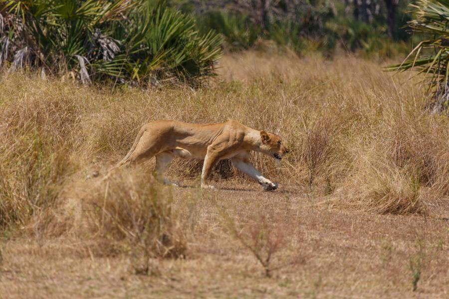12. Львица охотилась...